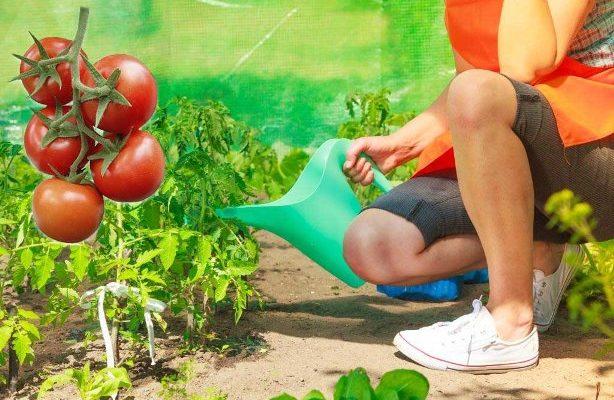 сколько раз поливать помидоры в открытом грунте
