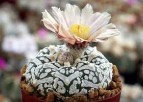 Астрофитум: уход, размножение, цветение, приметы, виды
