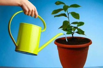 Как поливать лимон, растущий в домашних условиях в горшке, как часто это делать, чем поливать, где лучше его ставить