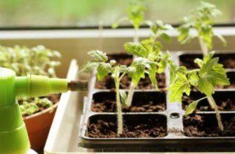 Правильная подкормка томатов нашатырным спиртом – залог здоровья растений и гарантия отличного урожая! Без обмороков: зачем помидорам нашатырный спирт и как правильно им удобрять растения
