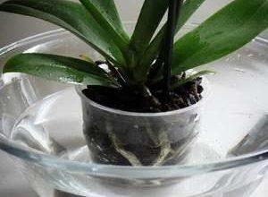 Как поливать орхидею в домашних условиях водой и удобрениями?
