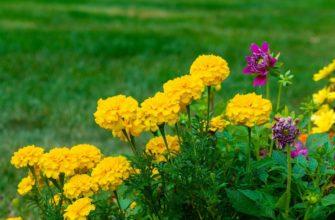 Бархатцы: выращивание и уход за цветами, а также как получить ранние бутоны? Русский фермер