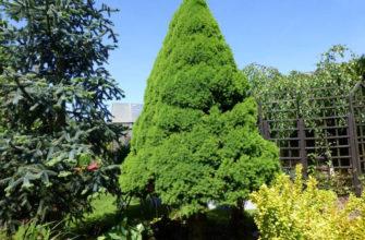 Ель Пицея глаука коника уход в домашних условиях, фото сизой елки в горшке, посадка picea glauca conica дома, видео