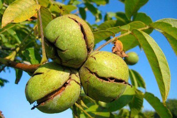 Посадка саженца грецкого ореха на постоянное место роста Любимый Сад