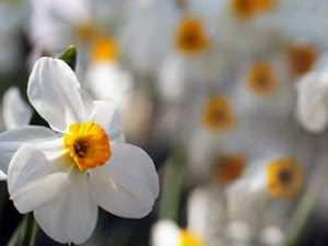 Как посадить нарциссы правильно и красиво, когда лучше высаживать? Рекомендации на ydoo.info