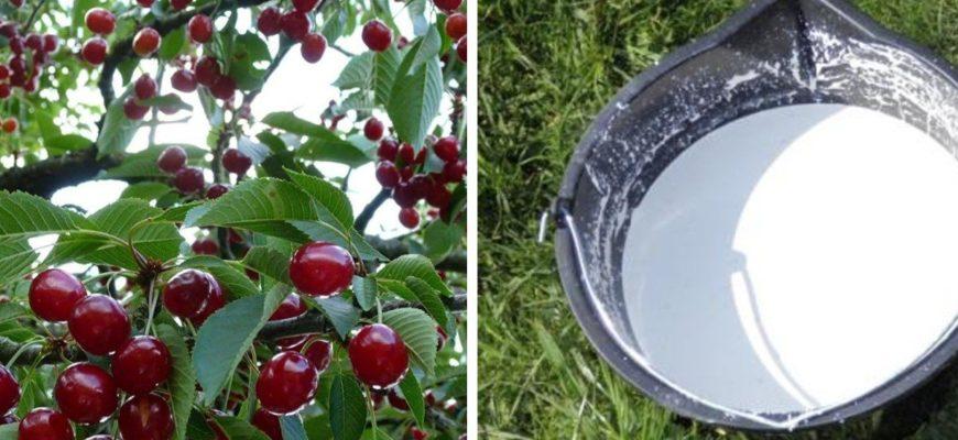Чем подкормить весной сливы и вишни | Садовое обозрение
